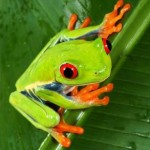 Red-EyedTreefrog